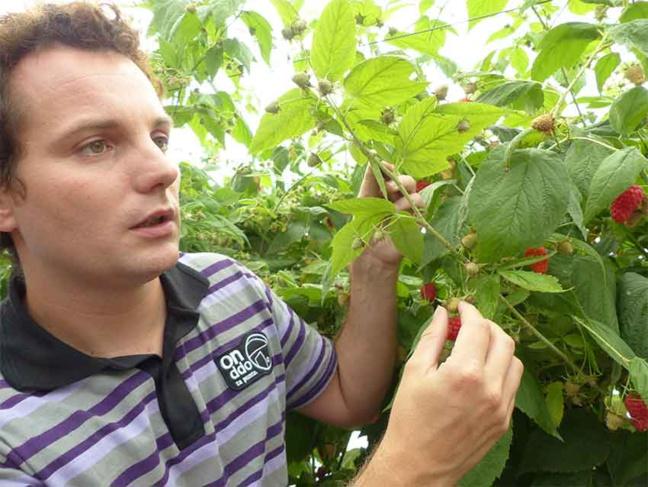 """""""Sous les tunnels de framboises, l'introduction d'un prédateur naturel a permis de diviser de moitié les fruits infectés par la mouche asiatique"""", souligne Julien Vendeville de la société Biobest."""