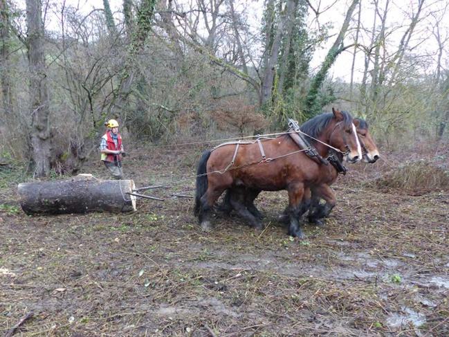 Fanny et Sachem sont capables de déplacer des grumes de plusieurs centaines de kilos.