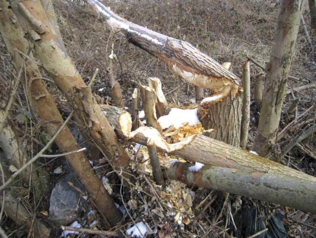 Le castor apprécie tout particulièrement les écorces de saules présents sur les berges du Garon.