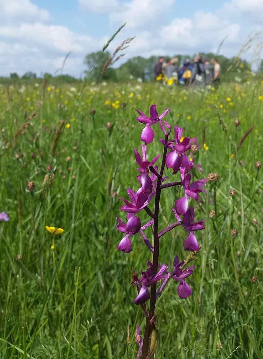 Cette élégante orchis à fleurs lâches fleurit d'avril à juin dans les prairies humides ou marécageuses.
