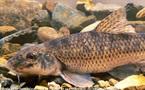 Les poissons de nos rivières