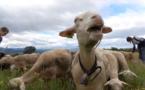 Des méthodes naturelles au soin des troupeaux
