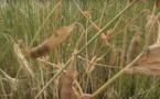 Des céréales pour atteindre l'autonomie alimentaire